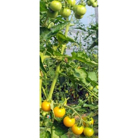 Tomate Aunt Rubys Yellow Cherry